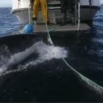 Hoảng sợ khi cá mập tấn công tàu