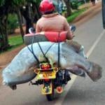 Chở cá khổng lồ trên đường phố