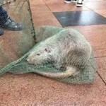 Choáng chuột khổng lồ dài gần 1 mét bị bắt