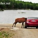 Bò xin chủ cho đi nhờ xe