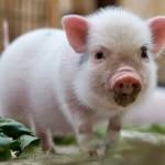 Cậu bé 14 tuổi ghép giác mạc từ lợn thành công