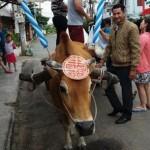 Chàng rể Tây rước dâu bằng xe bò tại Bình Thuận