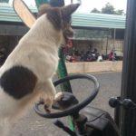 Ngạc nhiên chú chó biết lái xe máy xúc khá thành thạo